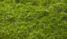 Many varieties of moss grow in Seattle, helping give the city its green color.