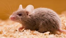 A mouse exterminator is responsible for eliminating a home's mouse infestation.