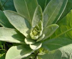 Mullein ear oil is infused with the flowers of the mullein plant.
