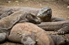 Komodo dragons are rare among lizards in that they mate for life.