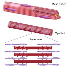 Applied physiology studies how proteins and other components of muscle cells function.