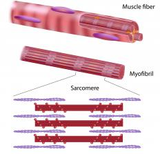 Muscle fiber is made of myofibrils.
