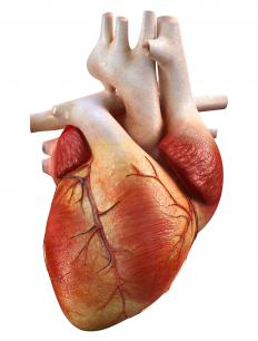 The myocardium is responsible for the heart's pumping action.