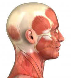 Sternocleidomastoid muscles are a set of muscles in the neck which run from the breastbone and collarbones to the side of the skull behind the ear.