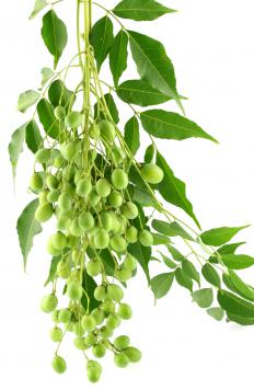 The neem plant is antibacterial and antiviral, and is proven to be effective in toothpastes.