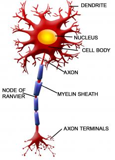 The axons that carry nerve impulses are protected by a myelin sheath.