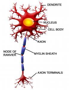 Nodes of Ranvier surround nerve cell axons.