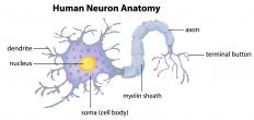 Dendrites and axons depend heavily on intermediate filaments to form their framework.