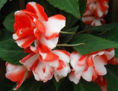 Cold weather, insects and irregular watering can affect the health of impatiens.