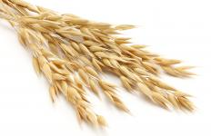 Straw harvested from wheat, rye, barley or oats all work equally well to build a straw house.