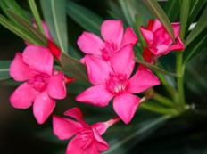 Oleanders contain compounds used to make cardiac glycosides.