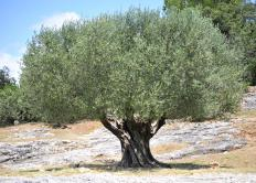 An olive grove, where marginated tortoises often live.