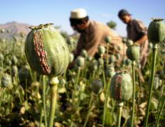 Opium is derived from poppy plants.