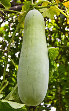 The opo squash is can be identified by pale green or yellowing skin that is smooth to the touch.