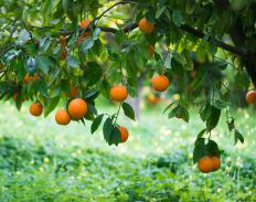 Bitter orange grown in the U.S. is most often found in Florida.