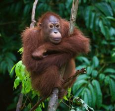 Borneo, the world's third largest island, is home to orangutans.