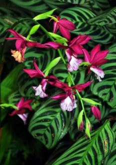 Plants in the calanthe genus are native to tropical regions of Asia and Africa.