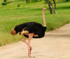 The ostrich is the largest type of bird in the world.