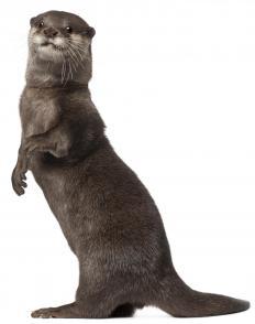 An otter from a freshwater wetland.