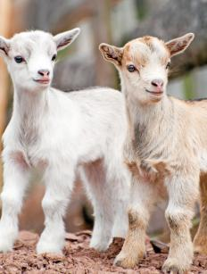 Feta cheese comes from goats.
