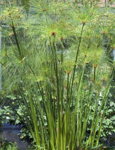 The pith of the papyrus plant, a type of sedge, was once used to make paper.
