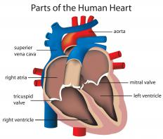 The mitral valve is located inside the heart between the atria and the ventricles.