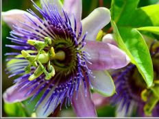 The passion flower is Tennessee's state wildflower.