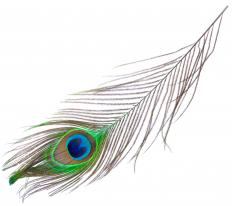 A peacock feather.