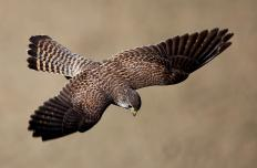 Peregrine falcons are native to Hanging Rock State Park.
