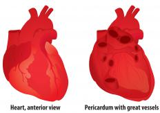 The pericardium is a powerful membrane that protects the heart and the major blood vessels leading into and out of it.