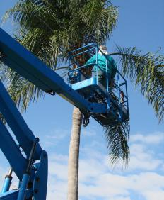 Queen palms are difficult to prune due to their height.