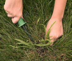 A gardening knife can be used for digging up aggressive weeds, like crabgrass.