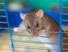 Rats make better pets than mice.
