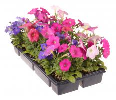 Gardeners can buy bedding plants in packs from nurseries.