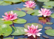 Nymphaea are a type of water lily.