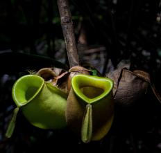Pitcher plants are specialized carnivorous plants that trap food in a pitfall.