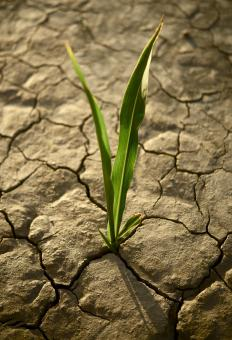 Drought-resistant grass will grow with very little water.