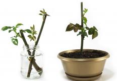 New plants grow from cuttings of older plants.