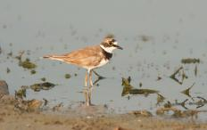 A killdeer is a species of plover that's found throughout the America's.