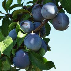 Gardeners who plant plum seeds may be treated to bowls of fruit in a few years.