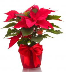 A poinsettia is a popular Christmas flower.