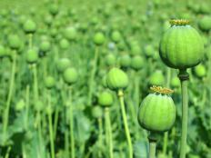 Morphine is derived from the opium poppy.