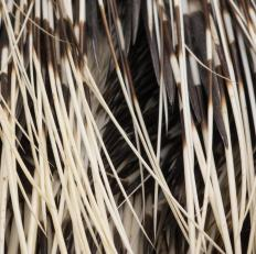 The quills of porcupines are modified hair shafts that evolved as a defense against predators.