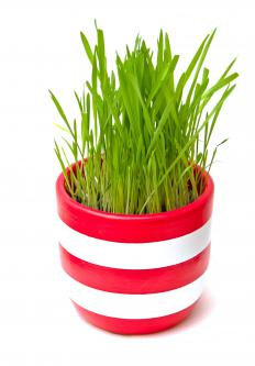 Some cat grass varieties are grown and sold in containers.