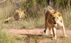 Game reserve offer tourists the opportunity to view such wildlife as lions.