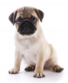 Pugs are known to have brachycephalic airway obstruction, which causes snuffling and snorting.