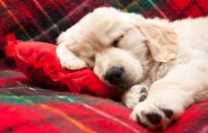 """The term """"let sleeping dogs lie"""" means not to bring up prior conflicts and refers to the behavior of dogs when suddenly awakened."""