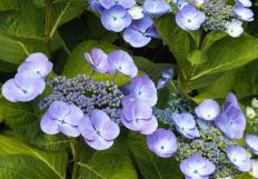 Some hydrangeas never turn green.