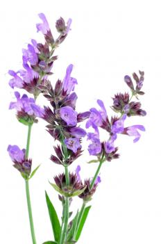 Purple is one of the several colors of Salvia.