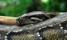 The Burmese python is found throughout Southern Asia.
